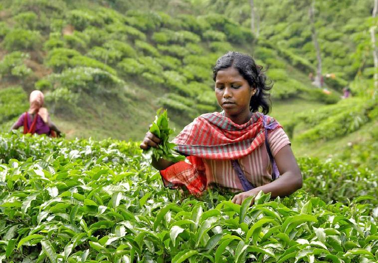 Độc đáo trà 5 màu ở Srimangal, Bangladesh