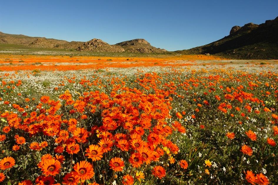 Ngỡ ngàng xứ sở hoa ở Nam Phi