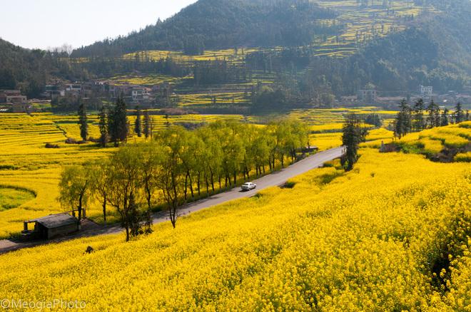 Rực rỡ những cánh đồng hoa cải ở Trung Quốc