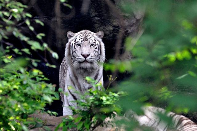 Hổ Bengal -  biểu tượng của Bangladesh