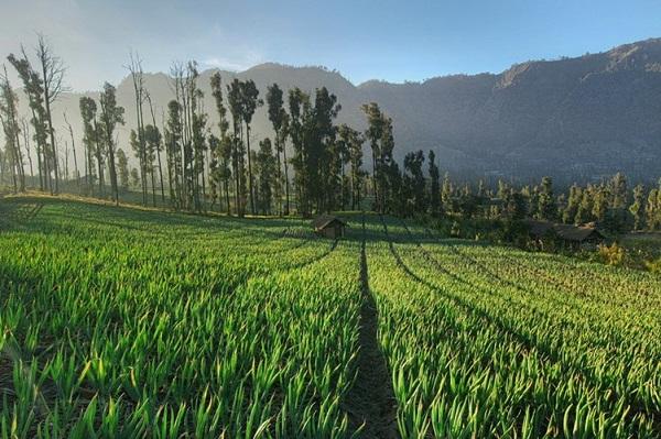 Những cánh đồng xanh bất tận