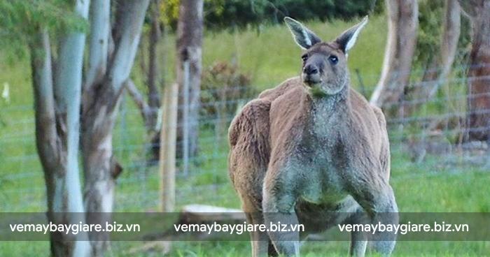 Kangaroo có thể coi là đặc sản của đất nước Úc