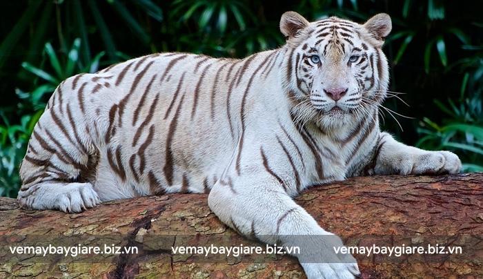 Hổ trắng quý hiếm cũng xuất hiện tại  Taman Safari